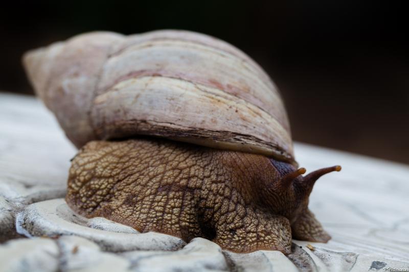 Giant garden snail closeup